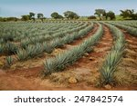 agave tequila landscape to... | Shutterstock . vector #247842574