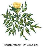 botanical marigold flower vector | Shutterstock .eps vector #247866121