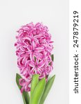 Pink Hyacinth On White...