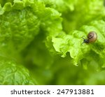 Small Snail On The Leaf Of The...