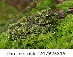 Vietnamese mossy frog...