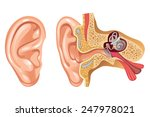 anatomy of human ear   cross... | Shutterstock .eps vector #247978021