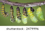 A Monarch Caterpillar Is Shown...