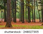 High Coniferous Evergreen Tree...