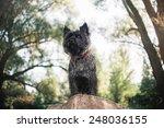 Cute Cairn Terrier Dog ...