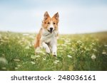 Stock photo red border collie dog running in a meadow summer 248036161