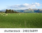 Sheep And Lambs In Green Grass...