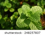 kitchen mint  marsh mint in...   Shutterstock . vector #248257837