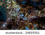 Small photo of bluebelly blenny (alloblennius pictus)