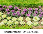 Ornamental Cabbage In The...