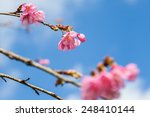 wild himalayan cherry on tree... | Shutterstock . vector #248410144