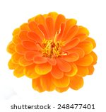 Orange Zinnia Flower Isolated...