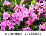 Small photo of Alpine rose ( Rhododendron Hirsutum ) close up