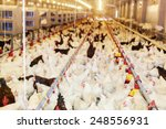 modern chicken farm  production ...