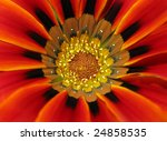 Macro close up of a colorful South African gazania flower. - stock photo