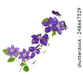 beautiful purple clematis... | Shutterstock . vector #248667529