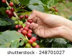 coffee beans on the tree... | Shutterstock . vector #248701027