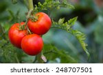 Red Tomatoes On The Branch With ...