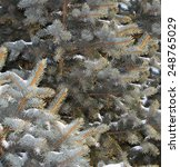Small photo of Silver Fir (Abies alba) snowy branches