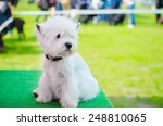 West Highland White Terrier On...