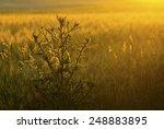 milk thistle on wheat field at...   Shutterstock . vector #248883895