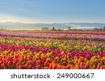 Colorful Tulip Filed In The...