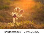 pasque flower blooming on... | Shutterstock . vector #249170227