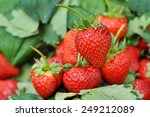 Fresh Strawberry From The Farm...