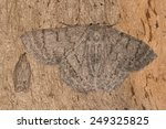 Two Camouflaged Moths