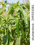 Green Chilies On Tree In The...
