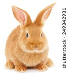 Stock photo isolated image of a brown bunny rabbit 249342931