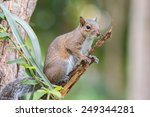 squirrel on a branch | Shutterstock . vector #249344281