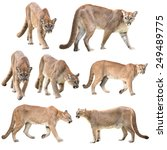 Puma Or Cougar Isolated On...