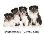 Group Of Shetland Sheepdog...