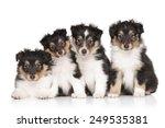 Group Of Shetland Sheepdog...