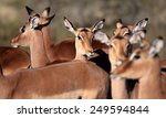 a breeding herd of impala... | Shutterstock . vector #249594844
