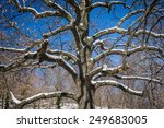 Small photo of Fragment of American Elm tree with branches covered in snow.