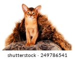 Lovely abyssinian kitten portrait sitting and looking at camera - stock photo