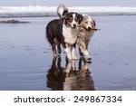 Two Australians Shepherds Dogs...