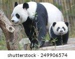 panda triplets half birthday... | Shutterstock . vector #249906574
