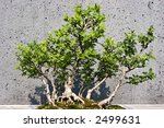 Small photo of American Barberry Bonsai
