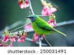 chloropsis hardwickii | Shutterstock . vector #250031491
