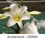 This is a close-up of Easter Lillys with a fountain in the background. - stock photo