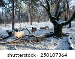 Sheep In Forest With Snow Near...