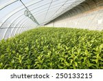 the lilies in the greenhouse ... | Shutterstock . vector #250133215