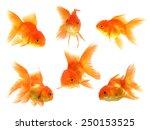 Goldfish Isolated On White...
