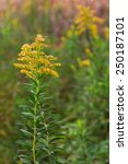 Small photo of Its top ablaze with buds of gold, a solitary goldenrod stands out in a prairie of green and yellow solidago.