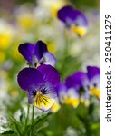 Tricolor Pansy Flowers  Natura...