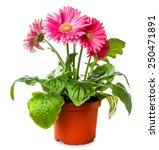 gerber's flowers in a flowerpot ...   Shutterstock . vector #250471891
