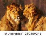 Two Lion Brothers Close...